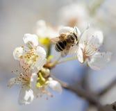 Abeja en las flores en un árbol Fotografía de archivo libre de regalías