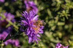 Abeja en las flores violetas Fotos de archivo