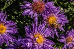 Abeja en las flores violetas Fotos de archivo libres de regalías