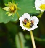 Abeja en las fresas de la flor Fotos de archivo libres de regalías