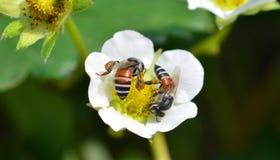 Abeja en las fresas de la flor Fotografía de archivo libre de regalías