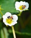 Abeja en las fresas de la flor Fotos de archivo