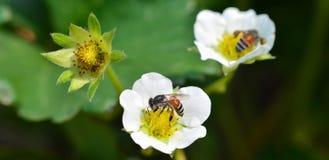 Abeja en las fresas de la flor Imagenes de archivo