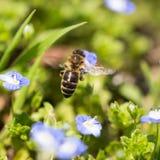 Abeja en las pequeñas flores azules en naturaleza Fotos de archivo libres de regalías