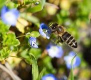 Abeja en las pequeñas flores azules en naturaleza Imágenes de archivo libres de regalías