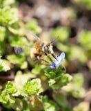 Abeja en las pequeñas flores azules en naturaleza Imagen de archivo