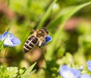 Abeja en las pequeñas flores azules en naturaleza Fotos de archivo