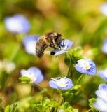Abeja en las pequeñas flores azules en naturaleza Fotografía de archivo libre de regalías
