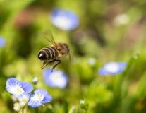 Abeja en las pequeñas flores azules en naturaleza Foto de archivo
