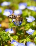 Abeja en las pequeñas flores azules en naturaleza Imagen de archivo libre de regalías