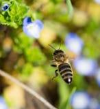Abeja en las pequeñas flores azules en naturaleza Imagenes de archivo