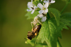 Abeja en las pequeñas flores blancas Imagen de archivo libre de regalías