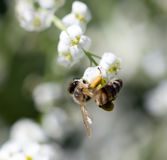 Abeja en las pequeñas flores blancas en naturaleza Fotografía de archivo libre de regalías