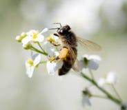 Abeja en las pequeñas flores blancas en naturaleza Foto de archivo libre de regalías