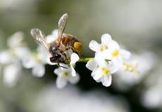 Abeja en las pequeñas flores blancas en naturaleza Imágenes de archivo libres de regalías