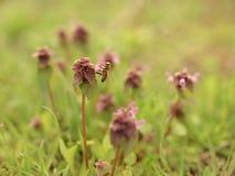 Abeja en las pequeñas flores de la lila Foto de archivo libre de regalías