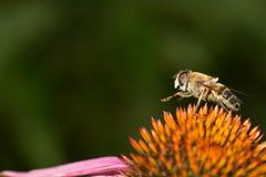 Abeja en las piernas coloridas de la flor para arriba Imagen de archivo