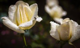 Abeja en las rosas blancas en un jardín Fotos de archivo