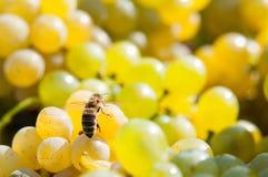 Abeja en las uvas Imágenes de archivo libres de regalías