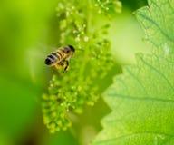 Abeja en las uvas verdes Fotografía de archivo libre de regalías