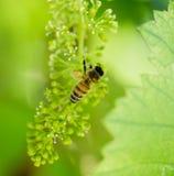 Abeja en las uvas verdes Foto de archivo