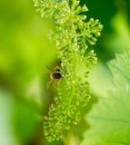 Abeja en las uvas verdes Imagen de archivo