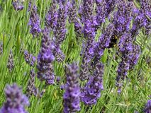 Abeja en lavendar Fotos de archivo