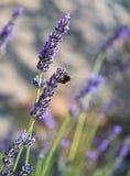 Abeja en lavendar Imagenes de archivo