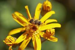 Abeja en Ligularia amarillo de la flor Imagen de archivo libre de regalías