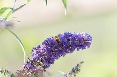 Abeja en lila Foto de archivo libre de regalías