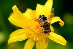 Abeja en los crisantemos Fotografía de archivo