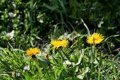 Abeja en los dientes de león de la flor que florecen, estación de primavera de la miel Flores amarillas hermosas en jardín Imagen de archivo