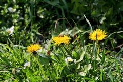 Abeja en los dientes de león de la flor que florecen, estación de primavera de la miel Flores amarillas hermosas en jardín Foto de archivo libre de regalías