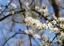 Abeja en los flores blancos Imágenes de archivo libres de regalías