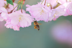 Abeja en los flores de cereza rosados Fotos de archivo libres de regalías