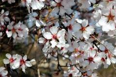 Abeja en los flores de la almendra Fotos de archivo