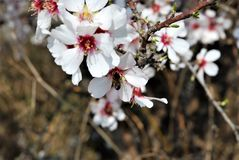 Abeja en los flores de la almendra Imagenes de archivo
