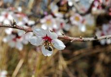 Abeja en los flores de la almendra Fotografía de archivo