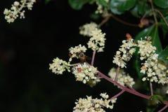 Abeja en los flores de la almendra Imagen de archivo