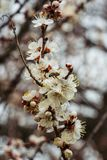 Abeja en los flores de la primavera Foto de archivo libre de regalías