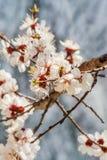 Abeja en los flores del albaricoque Imagen de archivo