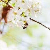 Abeja en los flores del blanco de la primavera Fotos de archivo