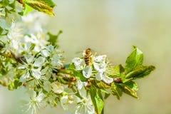 Abeja en los flores del ciruelo. Cierre para arriba Fotografía de archivo libre de regalías