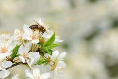 Abeja en los flores del ciruelo de cereza Imágenes de archivo libres de regalías