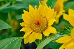 Abeja en los girasoles amarillos Foto de archivo libre de regalías