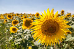 Abeja en los girasoles en campo con luz del día natural Foto de archivo libre de regalías