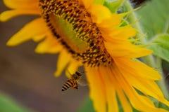 Abeja en los girasoles o el helianthus annuus Fotos de archivo libres de regalías