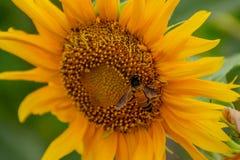 Abeja en los girasoles o el helianthus annuus Imágenes de archivo libres de regalías