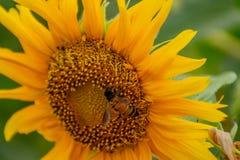 Abeja en los girasoles o el helianthus annuus Imagenes de archivo