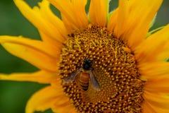Abeja en los girasoles o el helianthus annuus Foto de archivo libre de regalías
